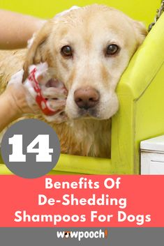 Best #Dog #Shampoos For #Shedding. All #dogs and #puppies #shed. It's a fact of life. But there are now many good #dog #shampoos for #shedding on the market that can help control #shedding. All #dogs and #puppies go through a cycle of re-growing and #shedding #hair. Some #breeds #shed more and some less but ALL #breeds #shed to some degree.