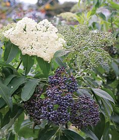 Elderberry, is ornamental w-beautiful foliage and large clusters of tiny white flowers in early summer. It has been used in folk remedies and the purple-black berries are good for preserves, flavoring wine and pastries. The berries ripen in late summer and are high in vitamin C. Two varieties, Adams and York, both of which are needed for cross-pollination and good fruit set. CAUTION: Only ripe berries are edible. The seeds, bark, leaves, flowers and unripened fruit of contain toxic…