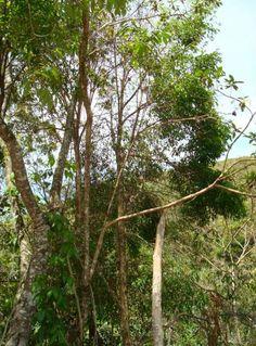 Guabiroba arborea - Campomanesia xanthocarpa