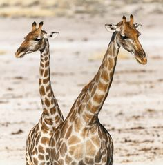 I thought this looked liked a two headed giraffe at first. Two are better than one,  because they have a good return for their labor: If either of them falls down,  one can help the other up. But pity anyone who falls  and has no one to help them up. —Ecclesiastes 4:9-10 : © @ogden_photography
