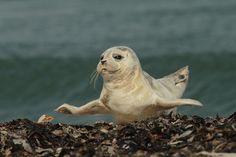 Fliegender Seehund von Anja Gieseler