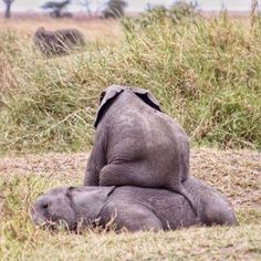 Although this is cute calves behavior, are that every 25 minutes, an African elephant is slaughtered by poachers. The Animals, Cute Baby Animals, Funny Animals, Wild Animals, Elephant Love, Elephant Gifts, Funny Elephant, Baby Elefant, Tier Fotos