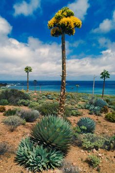 Century plant (Parry's agave), Agave parryi, Cedros Island, Baja California, Mexico