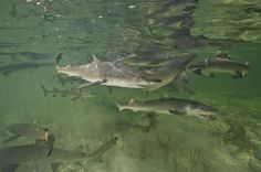 Research conducted in Bimini in The Bahamas spanning almost two decades shows that female lemon sharks that were born there returned 15 years later to give birth to their own young, confirming this behavior for the first time in sharks. The study began in 1995, and has resulted in the capture, tagging, and release of more than 2,000 baby sharks.