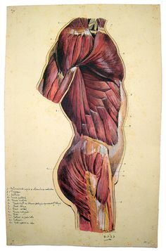 Trunk's muscles [MM-DA-185 - 31 x 51 cm] by Center for Image in Science and Art _ UL, via Flickr