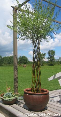 REALLy neat examples of woven willow trees