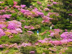 JAPAN: Some of the most spectacular scenes of Azaleas in bloom can be found in rural areas and not in gardens in Japan. www.toursgallery.com