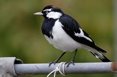 A male Magpie-lark - peewee -  (Grallina cyanoleuca), a common Australian bird of small to medium size.  also known as the Mudlark in Victoria and Western Australia, the Murray Magpie in South Australia, and as the Peewee in New South Wales and Queensland. Wikipedia