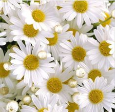 Daisies from Flower Story