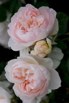 ~Gentle Hermione - English Rose