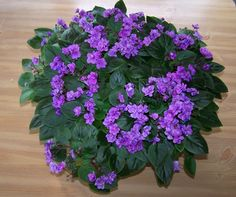 Violet Tiger, african violet hobbyist ~ This is a BlogSpot called violettigerviolets.  This is not the African Violet Tiger.  Which is a very large variegated plant.