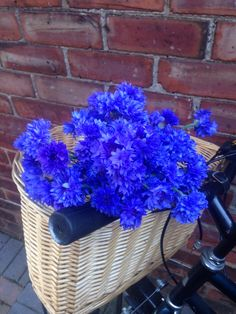 Electric blue @higgledygarden cornflowers in my cycle basket, 15th July