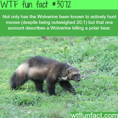 Badass animal of the year: The Wolverine - WTF fun facts