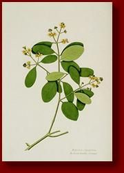 fifty-one flowers: botanical watercolours from bengal