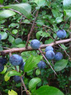 Konserwowanie ziół – metody – Zielicha Blueberry, Fruit, Berry, Blueberries
