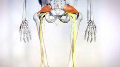 Skelett mit Piriformis-Muskel (rot).