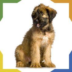 El Pastor de Brie como lo indica su nombre es originario de Brie, Francia. Era empleado como perro guardián de ovejas y pastor. En la Primera Guerra Mundial fueron utilizados por la Armada Francesa como centinela, mensajero y para la búsqueda de soldados heridos. Es un perro equilibrado, tranquilo y muy cariñoso con sus amos. Es un gran defensor del hogar. Pet Home, More Photos, Armada, Puppies, Dogs, Animals, Guard Dog, Gatos, Soldiers