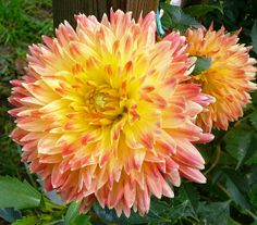 Dahlia 'Procyon' - seems this flower fades to a more salmon color. It starts out much redder at the tips. Just bought for 2015. -B