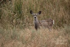 Mamma must of been around somewhere when I captured this Mule Deer Fawn with my camera here in Oregon.