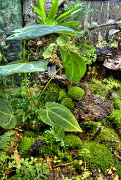 """A 25 gallon (18"""" x 18"""" x18"""" Exo-Terra) vivarium project housing live plants and White's Tree Frogs. My hopes are that everything is balanced to the point where animal waste will sustain the flora and beneficial baterium in the substrate."""