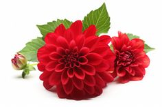 Dahlia Ali Oop is a true red decorative dahlia. Good cut and tuber producer. Fall Flowers, Colorful Flowers, Dahlia Flower Tattoos, November Birth Flower, Red Daisy, Flower Meanings, Birth Flowers, Love Garden, Flower Mandala