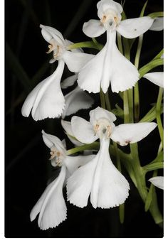 Habenaria Dentata LITTLE ANGELS