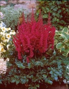 Astilbe chinensis 'Vision in Red' USPP#11965
