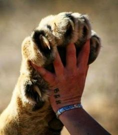 Human Hand to Lion Paw: reminder of our connection to all that is Beautiful Cats, Animals Beautiful, Cute Animals, Animals Images, Big Cats, Cats And Kittens, Safari Photo, Gato Grande, Mundo Animal