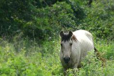 The Wild Horses of Vieques, Puerto Rico
