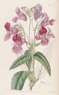 (1840) - Edwards's botanical register -London :James Ridgway,1829-1847