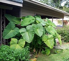 Elephant Ears: 2-10 ft height, 1-10 ft spread, full sun, medium-high water requirement.