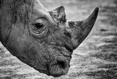 kermodephoto.be/ Brussels - Photography - Rhino - Pairi Daiza - Belgium