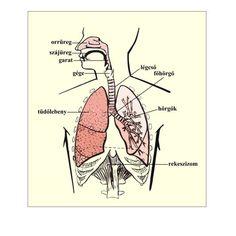 A légzőrendszer részeit, szervezetben elfoglalt helyét bemutató ábra
