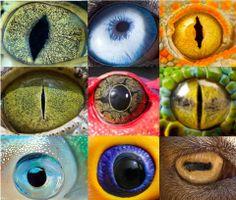 Da esquerda para a direita: caiman (jacaré), cachorro husky, lagartixa (Gecko gecko), crocodilo, sapo tomate, píton, lula, tucano, cabra.