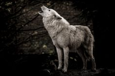 Photo about Howling white wolf in the dark taken in France. Image of head, howling, wolf - 98204429 Beautiful Wolves, Animals Beautiful, Wolf Photos, Wolf Spirit, Wolf Howling, White Wolf, Wild Dogs, Stock Foto, Werewolf