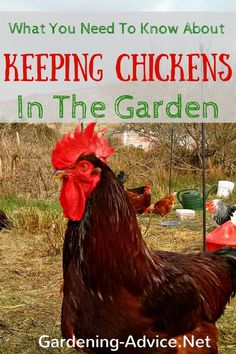 Keeping backyard chickens is certainly not something that suits everyone. But once you made the decision and got your first chooks laying their fresh and delicious eggs there is no looking back! Herbal Remedies, Health Remedies, Home Remedies, Keeping Chickens, Raising Chickens, Organic Gardening, Gardening Tips, Vegetable Gardening, Permaculture Garden