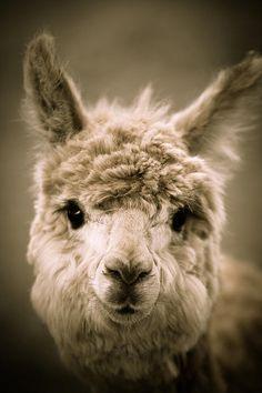 sweet alpaca  .::. © Shane Holsclaw