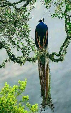 Peacock Pretty Birds, Love Birds, Beautiful Birds, Animals Beautiful, Exotic Birds, Colorful Birds, Nature Animals, Animals And Pets, Wild Animals
