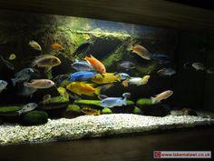lake malawi cichlids - dream tank
