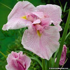 Pink Japanese Iris Pink Lady, Iris ensata, Japanese Iris