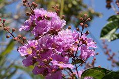 pride of india tree...........Lagerstroemia speciosa (Crepe myrtle)
