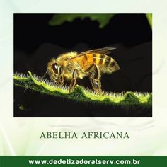 DEDETIZADORA TSERV FRANQUIA: CONHEÇA A ABELHA AFRICANA!!