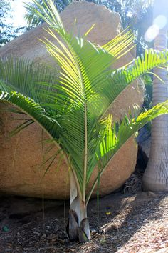 Dypsis Slick Willy