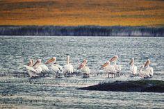 Pelicani. 🇲🇩