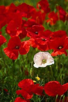 One white poppy in a field of red poppies, - Worthing, West Sussex, UK Beautiful Flowers Garden, Flowers Nature, Pretty Flowers, Red Flowers, Wild Poppies, Rose Wallpaper, Flower Photos, Flower Power, Bloom