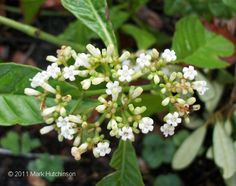 Florida Native Plant Society - wild coffee for under the front trees