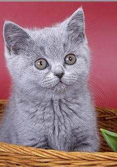 British shorthair kitten <3