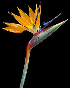 Bird-of-Paradise...besides orchids , this is one of my favorite ornamental plants :)