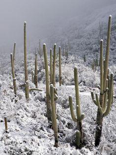 Westward Look Resort in Tucson, AZ | Snow Covers Desert Vegetation at the Entrance to the Santa Catalina Mountains in Tucson, Arizona