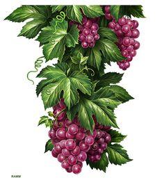 The illustration on the label. Fruit Illustration, Food Illustrations, Botanical Illustration, Decoupage Vintage, Decoupage Paper, Botanical Drawings, Botanical Prints, Fruit Painting, Grape Painting